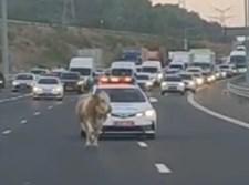הפרה באמצע הכביש