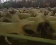 הכבשים רצות במעגלים