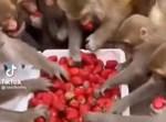 הקופים לוקחים מהתותים
