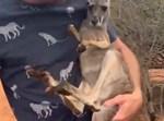 הקנגרו יושב על אחד מהמבקרים