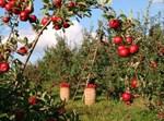 קטיף תפוחים
