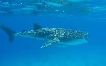 כריש לוויתן בשמורת האלמוגים