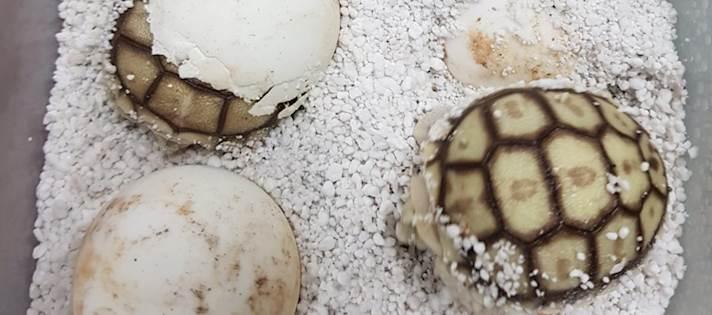 הצבים הסודנים בוקעים מהביצה
